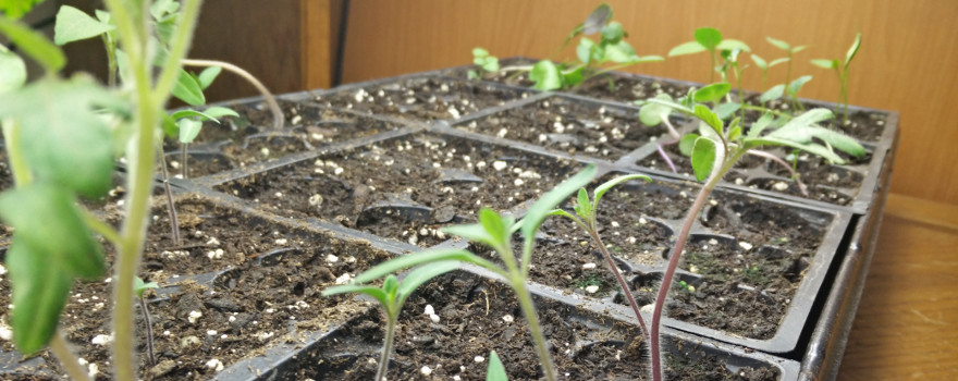 sunday-journal-spring-fever-sprouting-seedlings